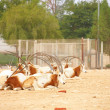 Oryx in a zoo in Qatar - Stock Photo