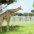 Single giraffe - Stock Photo