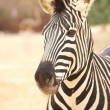 Stock Photo: Single zebra