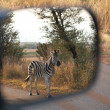 Zebra in the sideview mirror of a car — Stock Photo