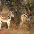Stock Photo: Zebras standing next to road