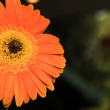 Single face of orange gerbera flower  — Stock Photo
