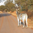 Single zebra standing next to the road - Zdjęcie stockowe