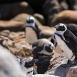 Jackass Penguins — Stock Photo