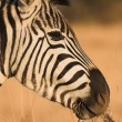 Zebra grazing in the veldt Rietvlei, South Africa (Winter) — Zdjęcie stockowe #22088427
