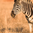 Zebra grazing in the veldt Rietvlei, South Africa (Winter) — Стоковое фото #22088447