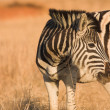 Zebra grazing in the veldt Rietvlei, South Africa (Winter) — Stok fotoğraf #22088457