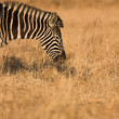 Zebra grazing in the veldt  Rietvlei, South Africa (Winter) — Stock Photo