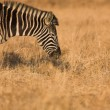 Zebra grazing in the veldt Rietvlei, South Africa (Winter) — Stok fotoğraf #22088473