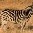 Zebra grazing in the veldt Rietvlei, South Africa (Winter) — Stock fotografie #22088491