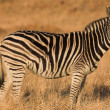 Zebra grazing in the veldt Rietvlei, South Africa (Winter) — Zdjęcie stockowe #22088491