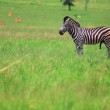 Male zebra grazing in the green veldt — Stock Photo #22088533