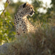Young cheetah on hunt in africbush — Stock Photo #22088695