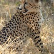 Young cheetah on the hunt in the african bush — Stock Photo