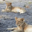 Young lion cubs resting in the early morning light — Stock Photo