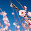Pink flower blossoms - Stock Photo