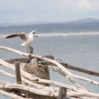Seagull sitting on wooden post - Stock Photo