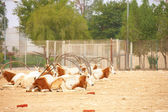 Oryx in a zoo in Qatar — Stock Photo