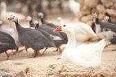 White goose sitting — Stock Photo