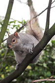 Squirrel in a tree — Stock Photo