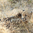 Young cheetah — Stock Photo #22090021