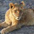 Lioness (Panthera Leo) lying down - Stock Photo