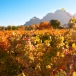 Autumn leaves on the vines in the vineyards at Boschendal, Western Cape, South Africa — Stock Photo
