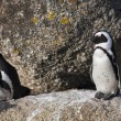 Jackass Penguins (Spheniscus demersus) — Stock Photo