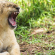 Lioness (Panthera Leo) yawning — Stock Photo