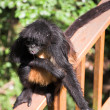 Black hairy monkey at monkey world in South Africa — Stock Photo