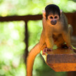 Cute squirrel monkey at monkey world in South Africa — Stock Photo