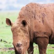 Stock Photo: Young rhinoceros feeding on fresh green grass in Rietvlei Dam nature reserve in South Africa