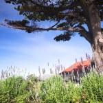 buissons de lavande mauves et verts sous un grand arbre — Photo
