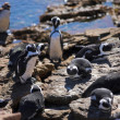 Stock Photo: Jackass Penguins (Spheniscus demersus)