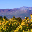 Autumn leaves on the vines in the vineyards — Stock Photo