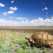African tortoise walking next to a road in the Karoo, South Africa — Stock Photo