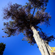 Tall tree against a blue sky - Foto Stock