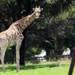 Single giraffe standing in the veldt under a tree under the green grass. — Stockfoto