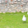 Seagulls sitting on grass — Stock Photo