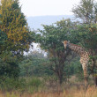 Stock Photo: Giraffe in bushes