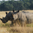 Stock Photo: Two Rhinoceros