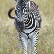 Young baby zebra standing alone in a grass field - 图库照片