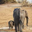 A herd of African elephants on the banks of the Chobe River in Botswana - Stock Photo