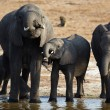 Stock Photo: Herd of Africelephants on banks of Chobe River in Botswana