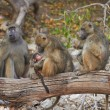 Chacma baboons in the early morning sunrise on the banks — Stock Photo