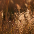 Tall grass close-up - Stock Photo