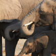 Stock Photo: Herd of Africelephants on banks of Chobe River in Botswandrinking water