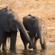 Stock Photo: Young and old elephants on banks of Chobe River in Botswana