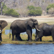 Stock Photo: Young and old elephants on banks