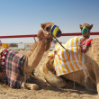 Racing camels lying — Stock Photo #22098665